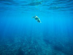 Oahu Snorkel Turtle 2017